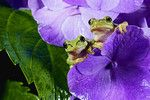 Japanese Tree Frog (Hyla japonica) on purple flowers