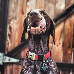 German Shorthaired Pointer by AllThingsBrightAndBeautiful