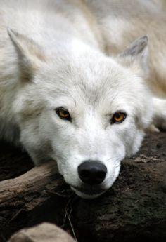 moonandtrees:  White Wolf 1 by ravenofthenight