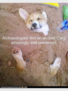 yaaay Corgis with their itty bitty feet!