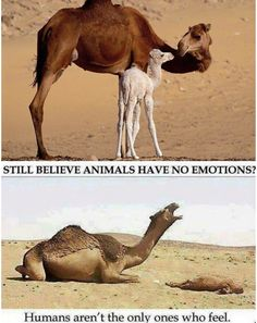 Camels have heart