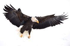 Bald eagle.  Chilkat Bald Eagle Preserve.  Haines Alaska.  By AJ Harrison