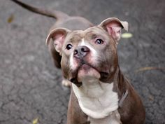 """SAFE ! 11/27/13  Manhattan Ctr -P   PHOENIX  #A0984607  Male gray/ white pit bull mix 2 YRS OWNER SUR 11/10/13 Handsome, playful youngster -""""He's a good dog"""" says  previous owner. Energetic boy, ... content w/ entertaining himself!  Housetrained, friendly w/ strangers &children, & playful around other dogs. walks well on leash, knows several commands: sit', """"stay"""" and """"go."""" So if you're looking for an active youngster that will give you plenty of play time, Phoenix might be your guy."""