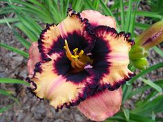 Daylily 'Spacecoast Party Pinafore'