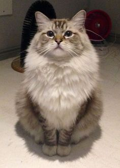 What a fluffy cat this is! #fluffycat #fluffball #fluffy