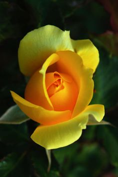 perfect yellow rose - bet it's a Yellow Rose of Texas - Mom's fav   # Pin++ for Pinterest #