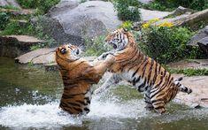 Download wallpapers tigers, predators, river, wildlife, tiger fighting, wild animals, wild cats