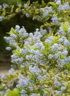 Ceanothus 'El Dorado' California Lilac - Monrovia - El Dorado California Lilac