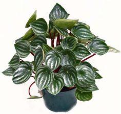 PEPERÔMIA | Planta de sombra