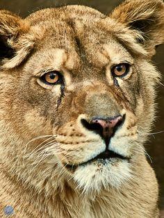 Lioness revisited by bogdandediu