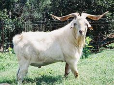 This massive buck is GFI's Torzor. His dam is Tay 29 daughter of the original Zorro and his sire is SLR Terminator's xx. He is one of the replacements for Terminator's xx. Cabras Saanen, Kiko Goats, Rolling Meadows, Haiku, Daughter, Animals, Animals And Pets, Animaux, Animal