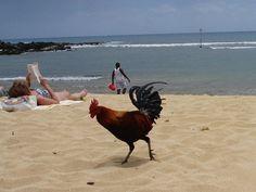 Most un-endangered species in Kauai, Hawaii.  This is sooooo true.