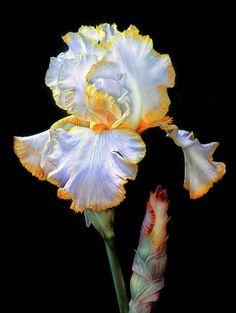 Iris Photograph - Yellow And White Iris by Dave Mills