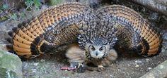 The Raggiana bird-of-paradise, (Paradisaea raggiana) also known as Count Raggi's bird-of-paradise...