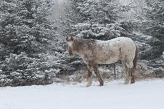 Chief by Brett Gorzalski on Capture Wisconsin // My grandparents old horse Chief out looking for the last bits of grass in yesterdays snow.