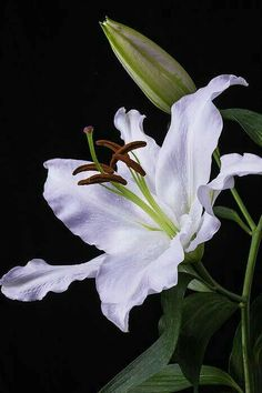 Oriental Lily Photograph - Oriental Lily by Garry Gay Flowers Nature, Exotic Flowers, Amazing Flowers, White Flowers, Beautiful Flowers, Tiger Lily Flowers, Oriental Lily, White Lilies, Floral Photography