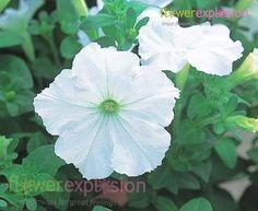 White godetia