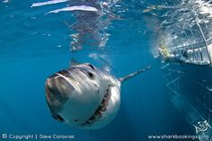 Book shark diving in Cape Town and Gansbaai South Africa, also Great White Shark cage diving and viewing in Mossel Bay and Durban. Great White Shark Diving, Shark Images, Cape Town South Africa, Kwazulu Natal, Life Is An Adventure, My Animal, Predator, Sharks, Cage