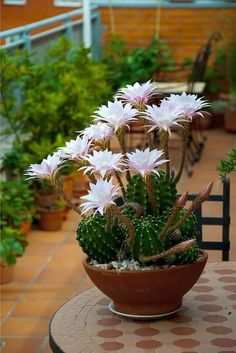 200 Pcs Rare African Cactus Plantas High Succulent Plant Tree Purify Air Bonsai Heat Resistant Easy Grow for Garden Cacti And Succulents, Planting Succulents, Planting Flowers, Cactus With Flowers, Cactus Planta, Cactus Y Suculentas, Indoor Cactus, Christmas Cactus, Hardy Plants
