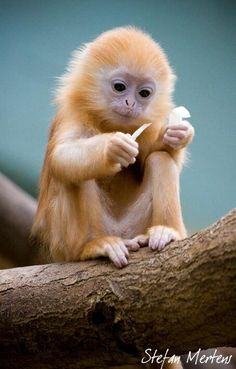 Beautiful petit singe mignon - engaged in a very 'human' endeavor Primates, Mammals, Cute Creatures, Beautiful Creatures, Animals Beautiful, Beautiful Babies, Beautiful Things, Nature Animals, Animals And Pets