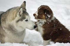 Friendship.  SPLASHDUCK sharing cute adorable animal pictures. Penny the Australian Shepherd