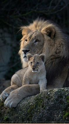 One thing comes to mind when I look at this picture. The Lion King. One thing comes to mind when I look at this picture. The Lion King. Big Cats, Cute Cats, Cats And Kittens, Nature Animals, Animals And Pets, Beautiful Cats, Animals Beautiful, Cute Baby Animals, Funny Animals