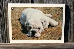 Bulldog Lounging Blank Note Card Animal Photography by HBBeanstalk, $3.00