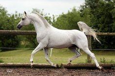 Ekilibr - Stud Card. Stallions Online. Stallions at stud.