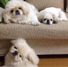 White fluffy Pekingese!!