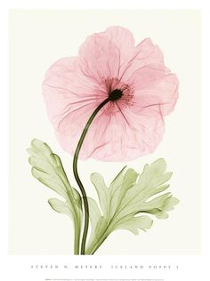 Shop for framed Iceland Poppy I by Steven N. Framed Wall Art, Wall Art Prints, Fine Art Prints, Art Floral, Anemone Du Japon, Poppy Photography, Object Photography, Kunst Poster, Type Posters