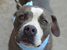TO BE DESTROYED - 08/10/14  Brooklyn Center   SMOKIE - A1008752  **SAFER: AVERAGE HOME**  NEUTERED MALE, GRAY / WHITE, PIT BULL MIX, 4 yrs OWNER SUR - EVALUATE, NO HOLD Reason LLORDPRIVA  Intake condition NONE Intake Date 07/31/2014, From NY 11411, DueOut Date 07/31/2014, Medical Behavior Evaluation GREEN  https://www.facebook.com/Urgentdeathrowdogs/photos/a.611290788883804.1073741851.152876678058553/849356635077217/?type=3&theater