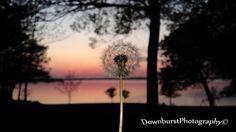 Lake Sunset Dandelion Sunset Summer Sunset by DownburstPhotography