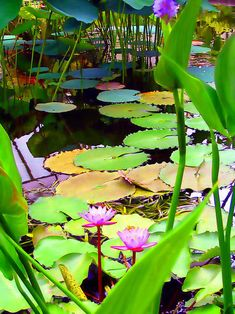 My waterlilies are much grander!!! I will photograph my pond soon!