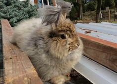 Here is a picture of a German angora. He produces about a pound of wool each shaving.