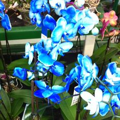 Blue orchids!!! i have this weird obsession lately with blue orchids