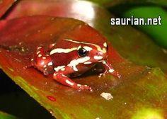 Saurian Enterprises, Inc :: Epipedobates tricolor