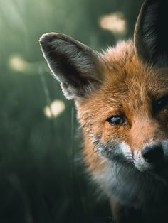 Red Fox by Alexis Rateau on 500px