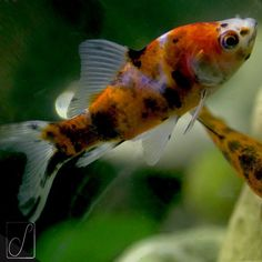 #unabellagiornata 241/365 Dice il saggio: Profondo rosso con altri colori, questo è il pesce #shubunkin