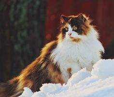 "mstrkrftz: "" Mille, the Norwegian Forest Cat 