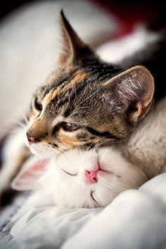 CATFOTO.COM фотографии кошек и котят, дикие кошки, блоги любителей кошек