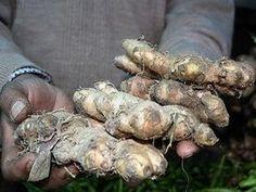 Como armazenar as raízes de gengibre