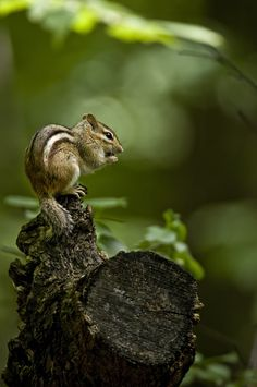 In the forest - Eastern Chipmunk Animals And Pets, Baby Animals, Cute Animals, Woodland Creatures, Woodland Animals, Woodland Forest, Beautiful Creatures, Animals Beautiful, Eastern Chipmunk