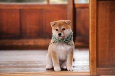 「和風総本家」に出演中の番組看板犬・16代目豆助