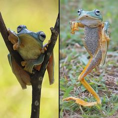 Balanced on one leg, this frog assumes the crane kick martial arts stance made famous in the movie The Karate Kid. The amphibious kung-fu fighter, pictured in East Java, Indonesia, is ready to deliver a devastating kick, similar to the one actor Ralph Macchio executed in the 1984 cult classic. The Reinwardt's flying frog was photographed by Indonesian photographer Monica Anatyowati after she spotted the frog practicing its moves in a field in Jember, a city in eastern East Java.