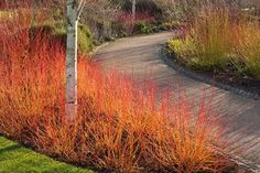 Vibrant cornus stems on the Winter Walk