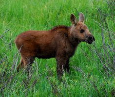 Can I please adopt this baby moose? Mooses always make me feel better. :)