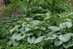 """Brunnera macrophylla 'Jack Frost' VARIEGATED SIBERIAN BUGLOSS - deciduous, flowers late winter to early spring, easy to grow, slug resistant 2' H x 2' 6"""" W"""