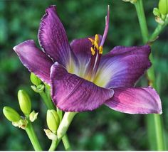 Daylily 'Anchors Aweigh', blue-tinged