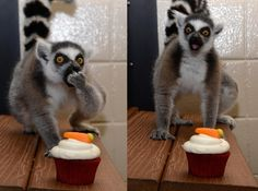 A lemur who has discovered the wondrousness of cupcakes for the first time. | 50 Animal Pictures You Need To See Before You Die