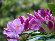 An arc of large, purple rhododendron flowers.